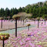 富士芝桜まつりに行ってきた!富士山をバックに色とりどりの芝桜が綺麗だったぞ!